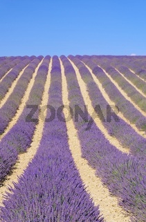 Lavendelfeld - lavender field 84