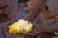 Goldgelber Zitterling liegt zwischen Laub nachdem ein Sturm den Pilz vom Ast gerissen hat