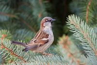 Male house sparrow, Passer domesticus, perched on a tree branch.