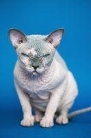 Portrait of pretty Canadian Sphynx cat sitting on blue background