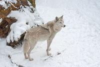 Tundra wolf on the snow
