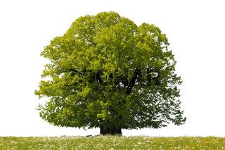 Linde Einzelbaum isoliert