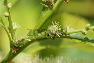Castanea sativa, Esskastanie, Sweet chestnut