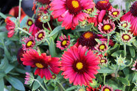 A background of many red and yellow blanket flowers