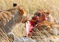 Löwin mit blutigem Gesich am Riss, Etosha-Nationalpark, Namibia, (Panthera leo) | lioness with a bloody face, Etosha National Park, Namibia, (Panthera leo)
