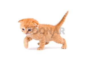 Scottish fold kitten isolated on white background