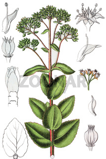 Die Große Fetthenne Hylotelephium telephium