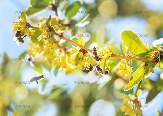Honey bees collecting nectar in a sunlit bush with yellow blossom in springtime
