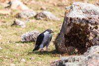 Augur Buzzard, Buteo augur, Bale National Park, Ethiopia, Africa wildlife