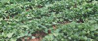 Süßkartoffelpflanzen