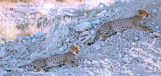 Geparde im Etosha-Nationalpark, Namibia; cheetahs at Etosha National Park, Namibia, Acinonyx jubatus