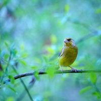 Greenfinch on a twig
