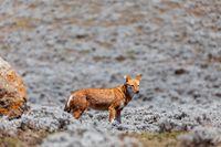 hunting ethiopian wolf, Canis simensis, Ethiopia
