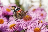 Der Schmetterling Admiral (Vanessa atalanta) auf einer Gartenform der Raublatt-Aster