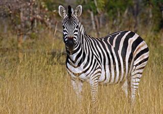 Zebra im Morgenlicht im Mahango Nationalpark