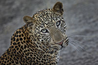 Leopard, Panthera pardus, Sambia, Southern Africa