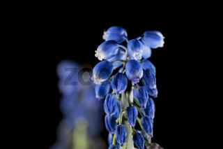 Muscari dolichanthum macro Traubenhyazinthe