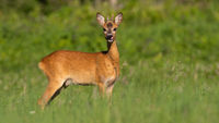 Roe deer with growing antlers licking on grass in summer