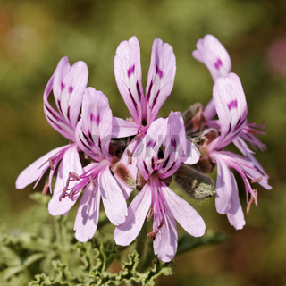 Pelargonium quercifolium, Eichenblättr. Pelargonie