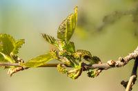 Makroaufnahme von Blatt und Blütenknospen der schwarzen Maulbeere vor unscharfem Hintergrund