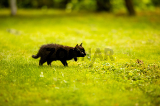 The black cat sneaks on the grass