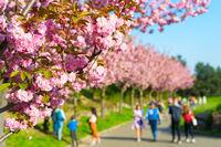 People blooming sakura alley flowers