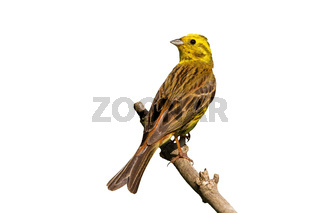 Yellowhammer sitting on branch in summer isolated on white