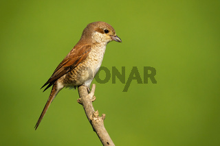 Female red-backed shrike sitting on branch with copy space