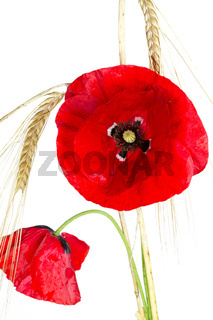 Blühende Mohnblume (Papaver Rhoeas) mit Gerste