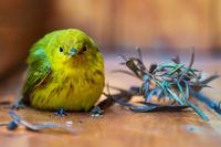 Yellow warbler, latin name 'Setophaga petechia', resting on a wooden porch after a crash, Lake Atitlan, Guatemala
