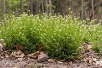Große Pflanze eines Behaarten Schaumkrautes mit Blätter und Blüte auf dem Waldboden