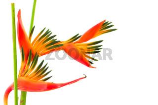 Bird of paradise, a tropical flower, ioslated