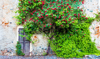 Romantic antique roses in grungy and vintage location