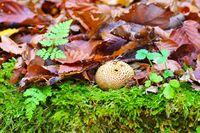 Kartoffelbovist, Scleroderma im Herbstwald - Scleroderma or eart ball in autumn forest