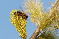 Biene am Weidenkätzchen