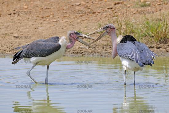 Marabu, Marabus (Leptoptilos crumeniferus), streiten im Teich, M