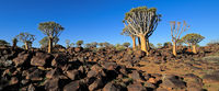 Panoramic landscape of quiver trees (Aloe dichotoma) and granite rocks