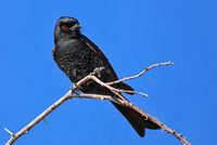 Trauerdrongo, Etosha NP, Namibia | fork-tailed drongo, Etosha NP, Namibia