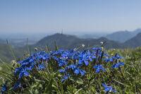 Frühlingsenzian auf sonniger Bergwiese