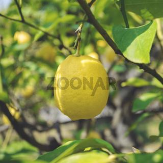 Ripe lemon hangs on tree branch