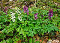 Hohler Lerchensporn, Corydalis cava, Hollowroot