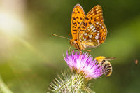 Closeup macro shot of a beautiful colourful Dark Green Fritillary butterfly and bee on a thistle flower with scenic sun rays