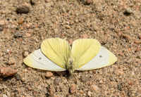 Small White butterfly - Pieris rapae - male insect, view from under