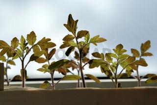 Solanum esculentum, Tomaten, Saemlinge