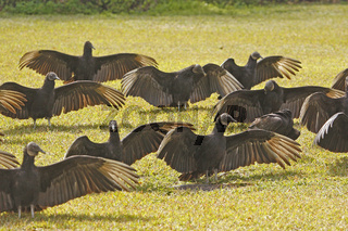 Group of Turkey Vultures (Cathartes aura) in a field