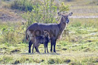 Wasserbock (Kobus ellipsiprymnus) mit Jungtier am fruehen Morgen