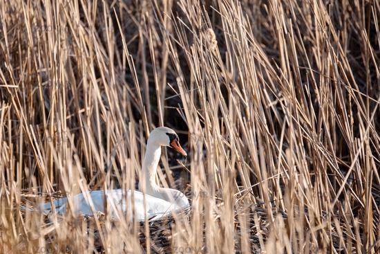Wild bird mute swan in spring on pond