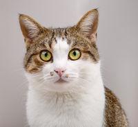 Portrait of cute Cat Gazing with big green eyes