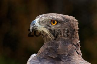 Martial eagle portrait