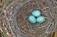 Nest of a Blackbird with eggs